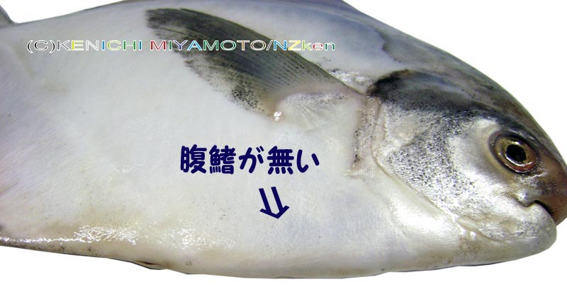 Silver pomfret or chinese silver pomfret for P o fish